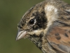 Rohrammer/Reed Bunting