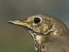 Singdrossel/Song Thrush