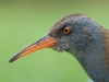 Wasserralle/Water Rail