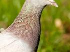 Brieftaube / Messenger Pigeon