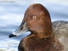 Männlicher Hybrid Moor- x Tafelente / Hybrid male Pochard x Ferruginous Duck