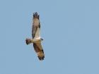 Fischadler / Osprey