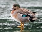 Putative intersex hybrid Eurasian Wigeon x Mallard