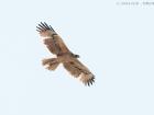 Habichtsadler / Bonelli\'s Eagle