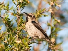 Purpurnektarvogel / Purple Sunbird