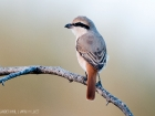 Rotschwanzwürger / Turkestan Shrike