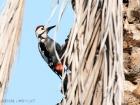 Tamariskenspecht / Sind Woodpecker