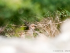 Wachtelfrankolin / Grey Francolin