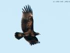 Schelladler / Greater Spotted Eagle