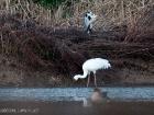 Schneekranich / Siberian Crane
