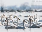 Singschwan / Whooper Swan