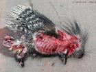 Indisches Stachelschwein / Indian Crested Porcupine