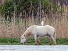 Camargue-Pferd mit Kuhreiher / Camargue-Horse with Cattle Egret