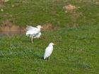 Kuhreiher-Pärchen / Pair of Cattle Egret
