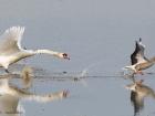 IBFF verjagt Graugans / IBFF chasing away Greylag Goose