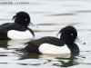 Reiherente/Tufted Duck, Gralla 2009