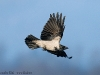 Nebelkrhe/Hooded Crow, Gralla 2009