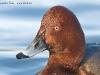 Hybriderpel Moor- x Tafelente/Hybrid male Ferruginous Duck x Pochard, Gralla 2009