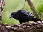 Kolkrabe / Raven