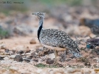 Kragentrappe / Houbara Bustard