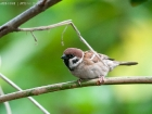 Feldsperling / Tree Sparrow
