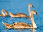 Hckerschwan / Mute Swan