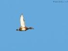Moorente / Ferruginous Duck