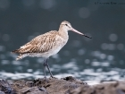 Pfuhlschnepfe / Bar-tailed Godwit