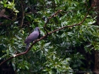 Bolles Lorbeertaube / Bolle's Pigeon