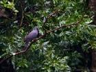 Bolles Lorbeertaube / Bolle\'s Pigeon
