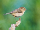 Kanarenzilpzalp / Canary Islands Chiffchaff