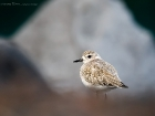Kiebitzregenpfeifer / Grey Plover