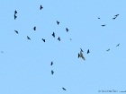 Musebussard und Alpendohlen / Common Buzzard with Alpine Choughs