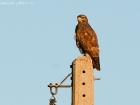 Mäusebussard / Common Buzzard