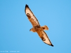 Adlerbussard / Long-legged Buzzard