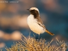 Fahlbrzelsteinschmtzer / Red-rumped Wheatear