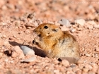 Fette Sandratte / Fat Sand Rat