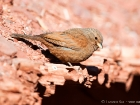 Hausammer / House Bunting