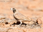 Knackerlerche / Thick-billed Lark