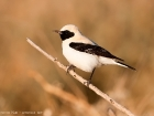 Mittelmeersteinschmtzer / Black-eared Wheatear