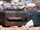 Raubwürger / Great Grey Shrike