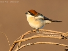 Rotkopfwrger / Woodchat Shrike