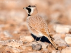 Saharaohrenlerche / Temminck's Horned Lark 