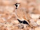 Saharaohrenlerche / Temminck\'s Horned Lark
