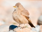 Steinlerche / Desert Lark