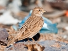 Stummellerche / Lesser Short-toed Lark