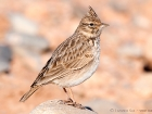 Thekla Lerche / Thekla Lark