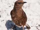 Trauersteinschmtzer / Black Wheatear