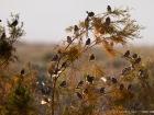Weidensperling / Spanish Sparrow