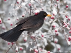 Amsel / Blackbird
